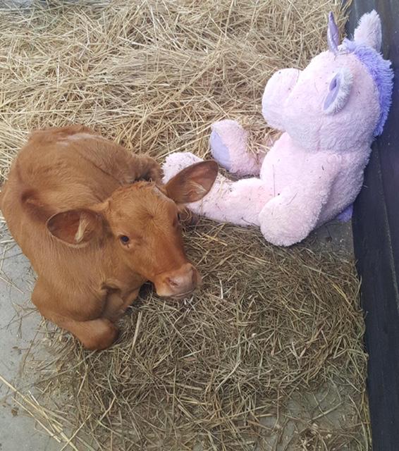 Adopt Irish the Calf